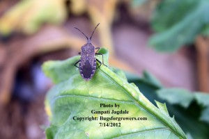 """An adult squash bug"""