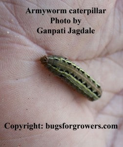 """Armyworm caterpillar"""