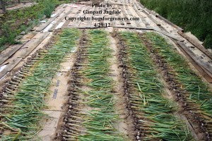 """Harvested garlic kept outside for a few hours for drying of attached soil"""