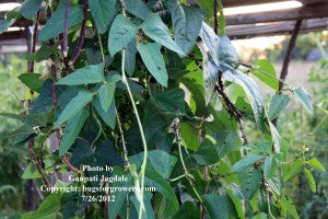 """Chinese long beans infested by Kudzu bugs"""