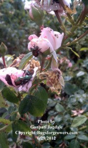 """The Japanese beetles feeding on roses"""