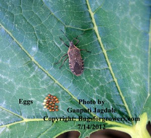 """Eggs of squash bug"""