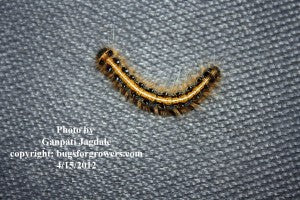 """Tent worm caterpillar"""
