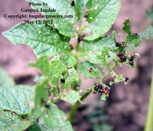 """The severe damage to potato leaves by Colorado potato beetle grubs"""