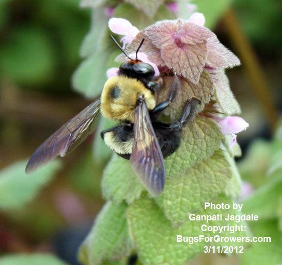 Bumblebees, Bombus impatiens for pollination