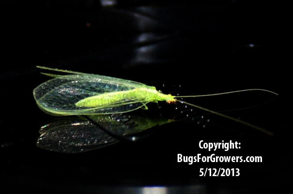 Green Lacewing, Chrysoperla rufilabris- Eggs