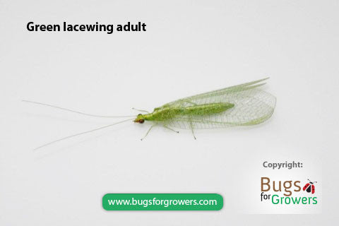 Green lacewing, Chrysopa carnea