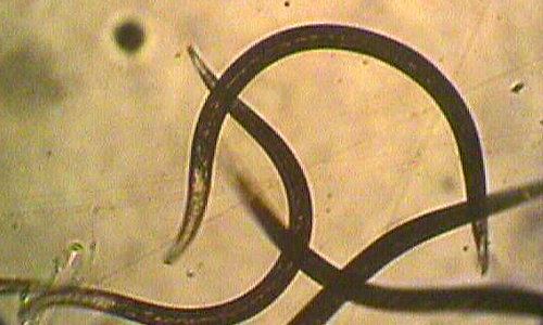 Double Trouble- S. feltiae & H. bacteriophora nematodes together