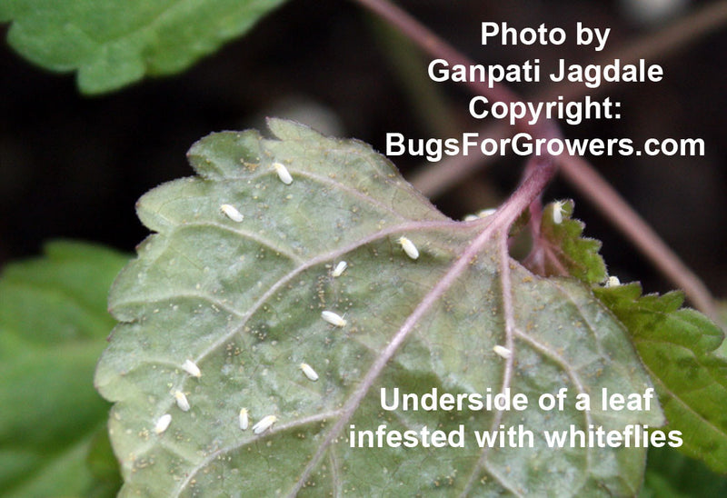 Predatory beetle, Delphastus pusills for whitefly control