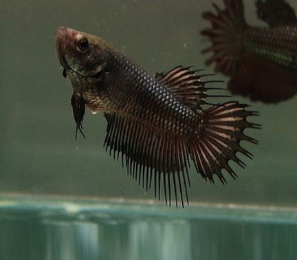 Female Betta Crowntail