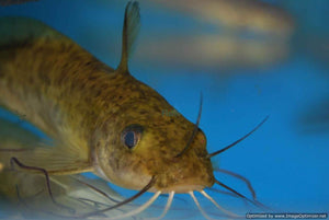 #tandanus catfish #native catfish