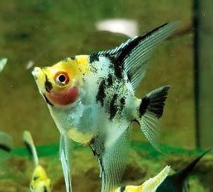 #Koi Angelfish #angelfish