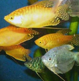 #assorted gourami