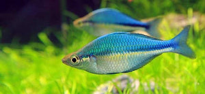 #rainbowfish #Lacustris