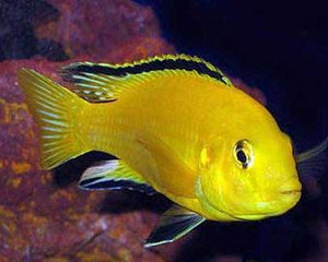 #African cichlids #electric yellow