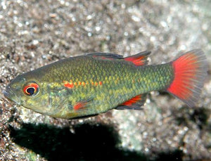 Pygmy Perch Southern to 4cm