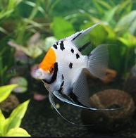 Tricolour Angelfish to 4cm import