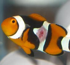 Fish Disease Fact Sheet - Clownfish Disease