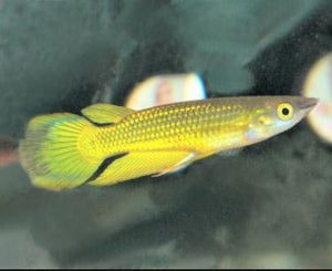 #gold panchax #killifish #rainbowfish