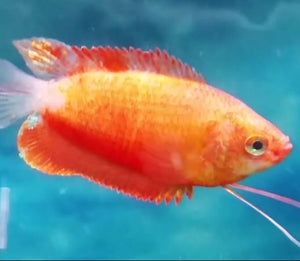 Red Honey Dwarf Gourami to 5cm