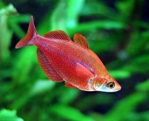 #red rainbow #rainbowfish