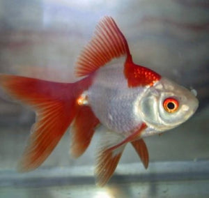 Red & White Fantail 7 to 10cm