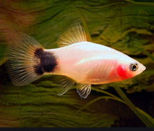 Mickey Mouse Assorted Platy 4cm