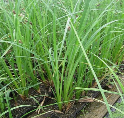 Blue Sedge (Carex Riparia)