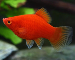 Red Platy Large