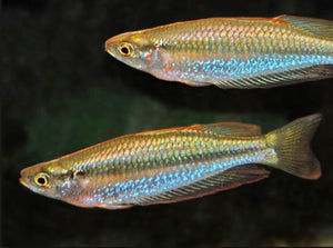 Slender Rainbowfish