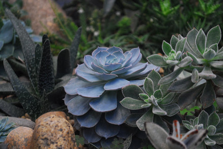 Cheap Succulents Online