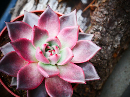 Colorful Succulents and How To Choose Species by Color