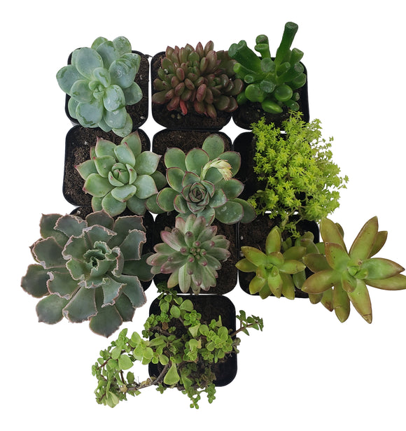 10 Pack Assorted Succulents