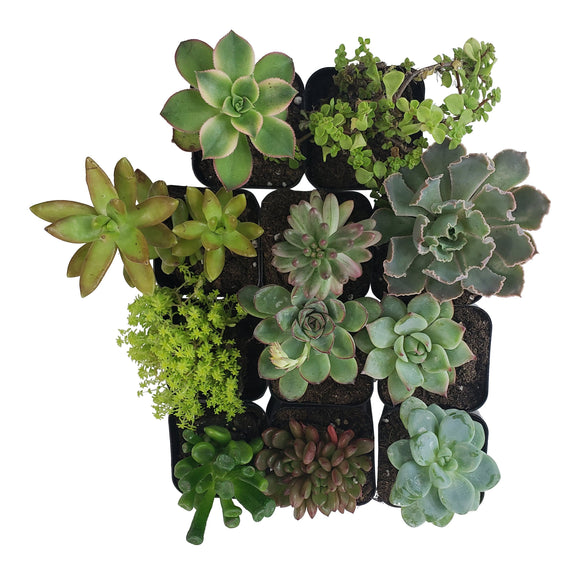 11 Pack Assorted Succulents