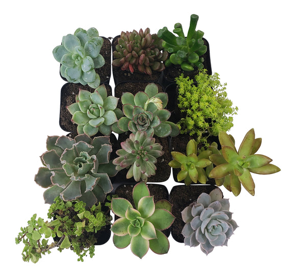 12 Pack Assorted Succulents