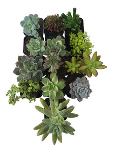 13 Pack Assorted Succulents