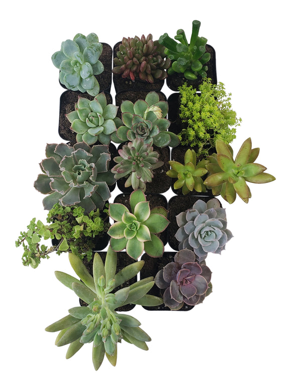 14 Pack Assorted Succulents