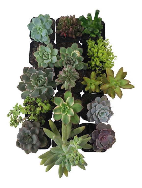 15 Pack Assorted Succulents