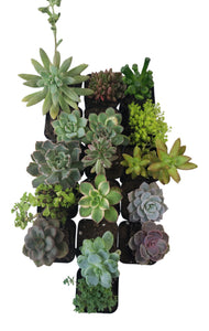 16 Pack Assorted Succulents