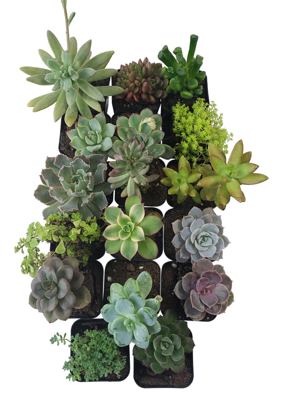 17 Pack Assorted Succulents