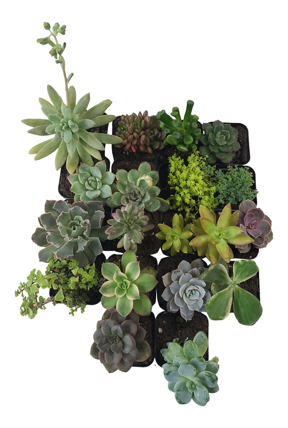 18 Pack Assorted Succulents