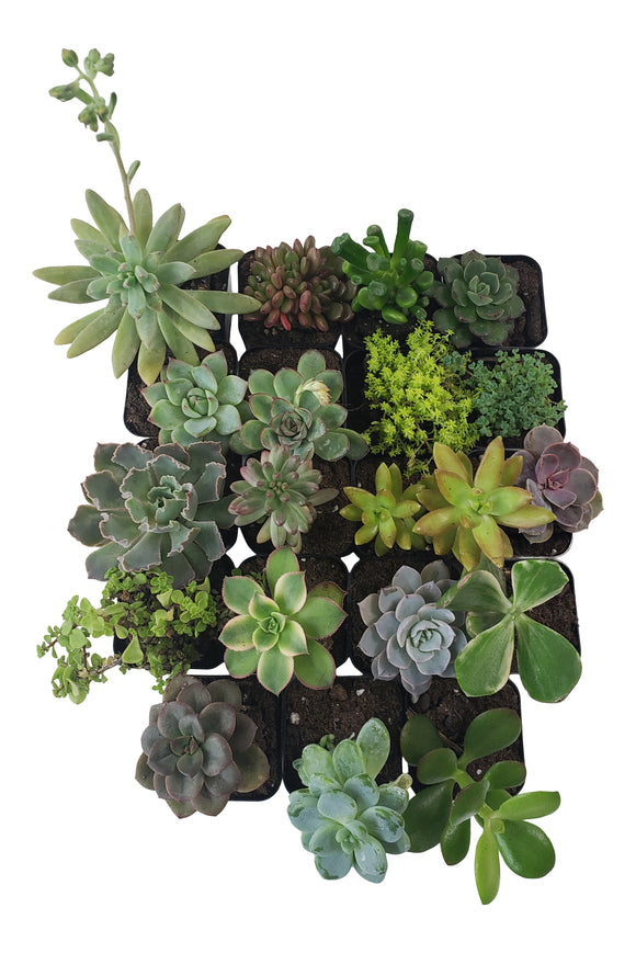 19 Pack Assorted Succulents