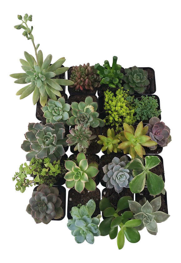 20 Pack Assorted Succulents