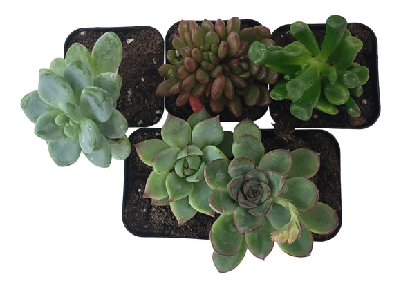 5 Pack Assorted Succulents