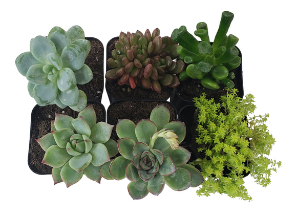 6 Pack Assorted Succulents