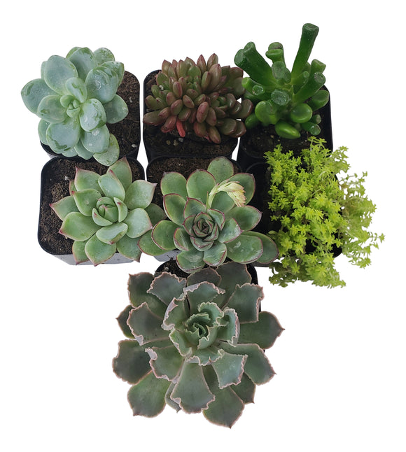 7 Pack Assorted Succulents