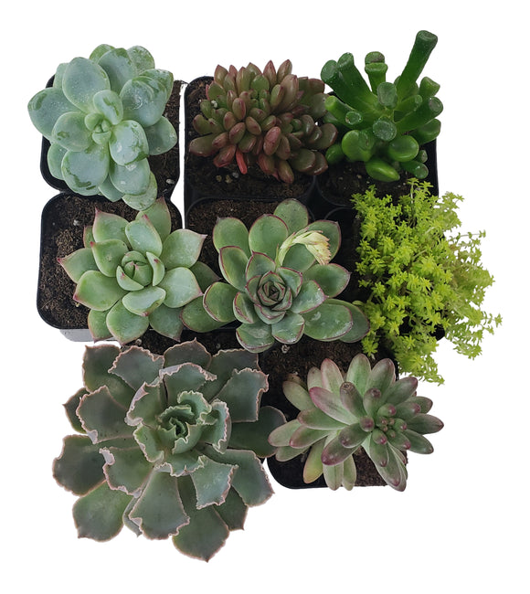 8 Pack Assorted Succulents