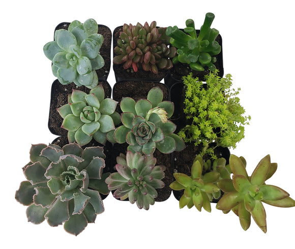 9 Pack Assorted Succulents