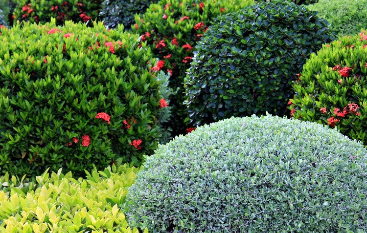 Easy-to-grow Evergreens