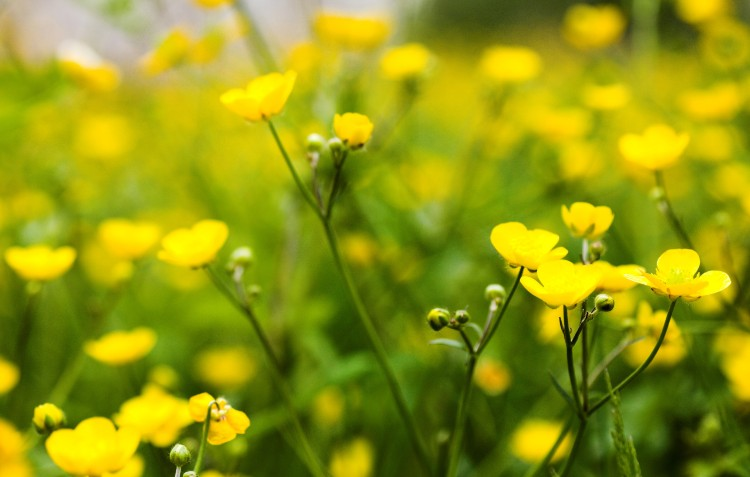 buttercup-flowers